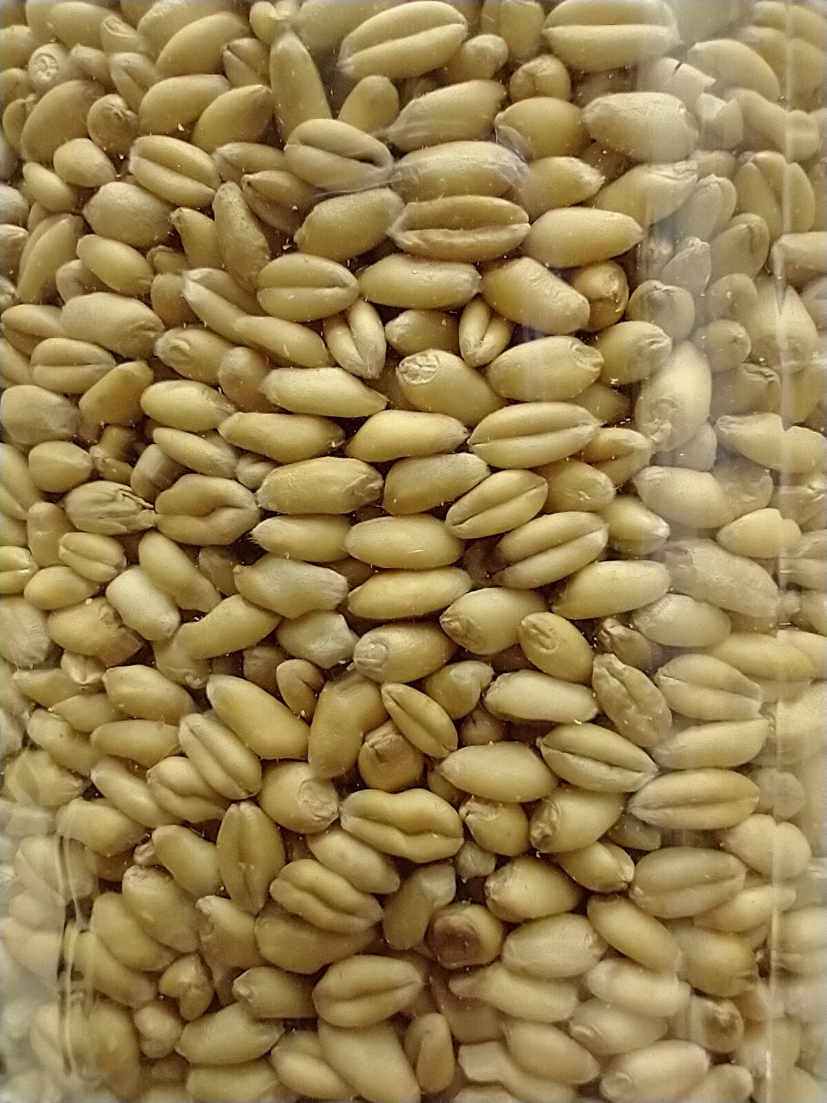 Wheat from Azure Standard